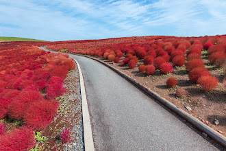 Photo: Follow The Red Bush Road  Been pretty busy lately and haven't had a good chance to go out and shoot, although thankfully that's going to change this week with a visit to Fuji and Karuizawa. However, I did get a chance this past week to visit Hitachi Seaside Park in Ibaraki Prefecture. Unfortunately I arrived a bit late, but it was still great to see in person.  Blog post: http://lestaylorphoto.com/kochia-at-hitachi-seaside-park/  #japan #cooljapan #travel #autumn #nikon