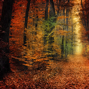 20151103-DSC_0275 by Zsolt Zsigmond - Landscapes Forests ( autumn, fall, path, trees, forest, leaves, woods, light,  )