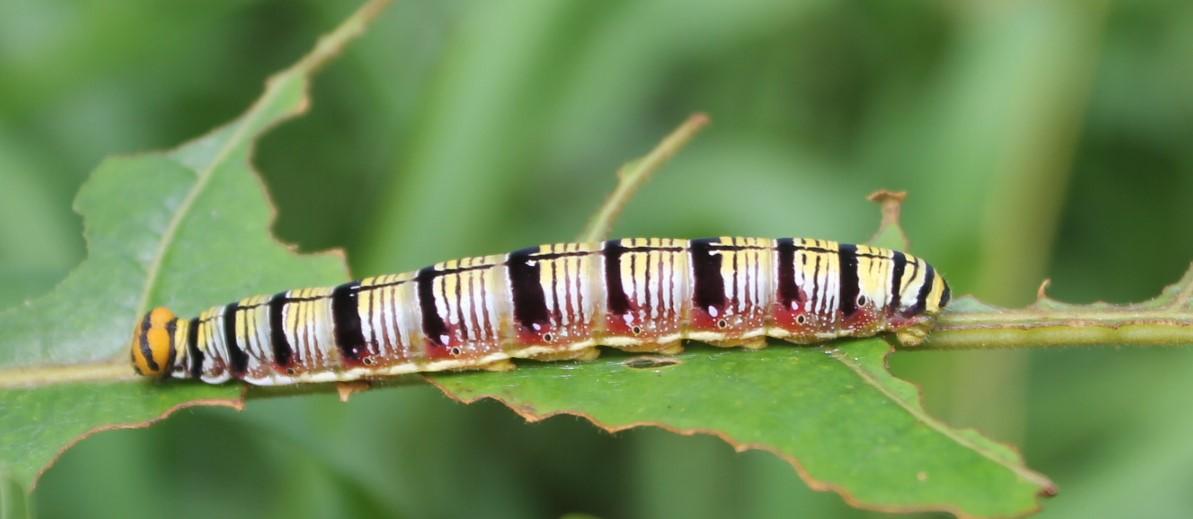 Yellow, black and orange caterpillar