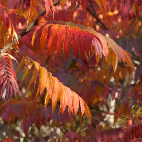 Autumn Fire by Susan Grefe - Nature Up Close Leaves & Grasses