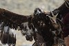 Mongolia. Golden Eagle Festival Olgii. The full might of a Golden Eagle