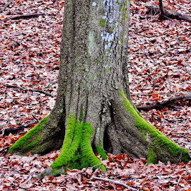 Big beech roots by Hiking Viking - Nature Up Close Trees & Bushes ( tree, autumn, tree stump, roots, fall, nature up close, trees, nature photography, nature close up, beech, nature photo )
