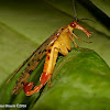 Scorpionfly - male