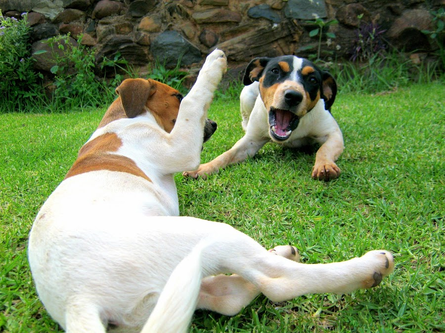 by Kirstie O'Neill - Animals - Dogs Playing