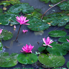 Water Lily by Kaniz Khan - Flowers Flowers in the Wild ( water-body, water, lily, water-lily, river )