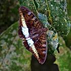 Tanaecia calliphorus