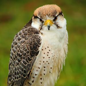 Pretty falcon.jpg