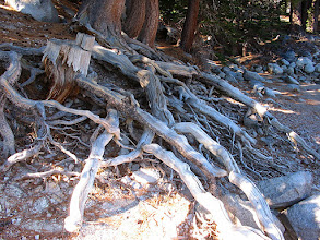 Photo: Cool tree roots