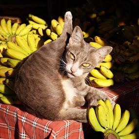 Banana cat by Mishel Breen - Animals - Cats Portraits ( cat, oriental, counter, street, thailand, thai, yellow, breen, siamese, asian, fengshui, banana, market, lucky, food, asia, mishel breen, east, chiang mai, closeup )