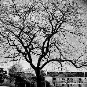 BIg Tree by Grady  Welch - Black & White Flowers & Plants ( black & white, big, b&w, buildings, tree )