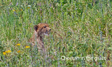 Photo: Just after this photo, cheetah took off and caught an antelope, at speeds I failed to capture.