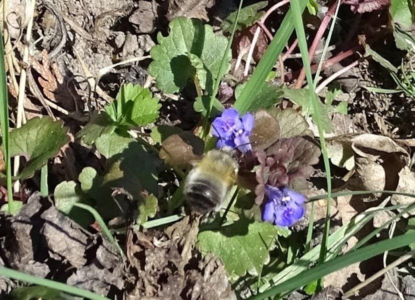 2019-04-15 LüchowSss Garten 14-15 Uhr (58) Pelzbiene (Anthophora plumipes) an Gundelrebe (Glechoma hederacea, )