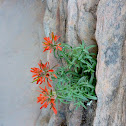 Zion Slickrock Indian Paintbrush