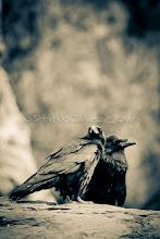 Photo: Ravens on  the Grand Canyon. Grand Canyon National Park, AZ.