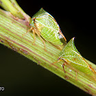 Green treehoppers