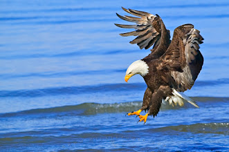 Photo: #BirdsofPreySunday  I have not shown a lot of my wildlife stuff lately so today is a great day to contribute my bald eagle fishing photo to BirdsofPreySunday by +Jeffrey Van Daele +Diego Cattaneo .  I photographed this picture near Homer, Alaska, it used to be one of the very best spots to photograph eagles in early spring in Alaska but by the sounds of it those times are over and there are only a few left.  If you like my shot please check out my website, I have a lot more bald eagle pictures there.  Thank you! http://www.hickerphoto.com/photos/bald-eagle-pictures.htm  #PlusPhotoExtract #wildlife #eagles