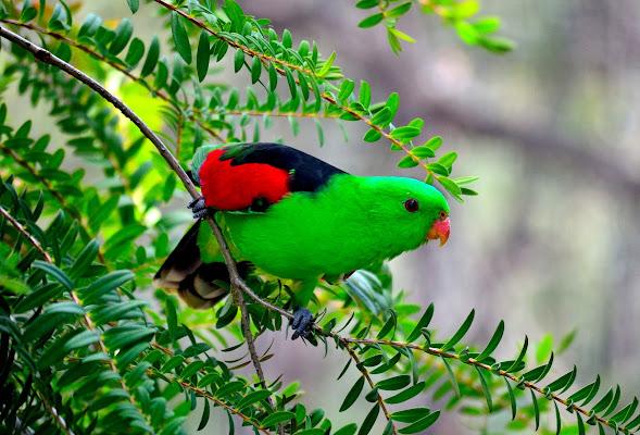Green parrot di stefano_angeli