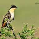 Cuckoo - Great Spotted Cuckoo