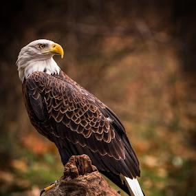 Bald Eagle by Chris Martin - Animals Birds ( bird, birds of prey, animals, eagle, bald eagle, wildlife, birds,  )