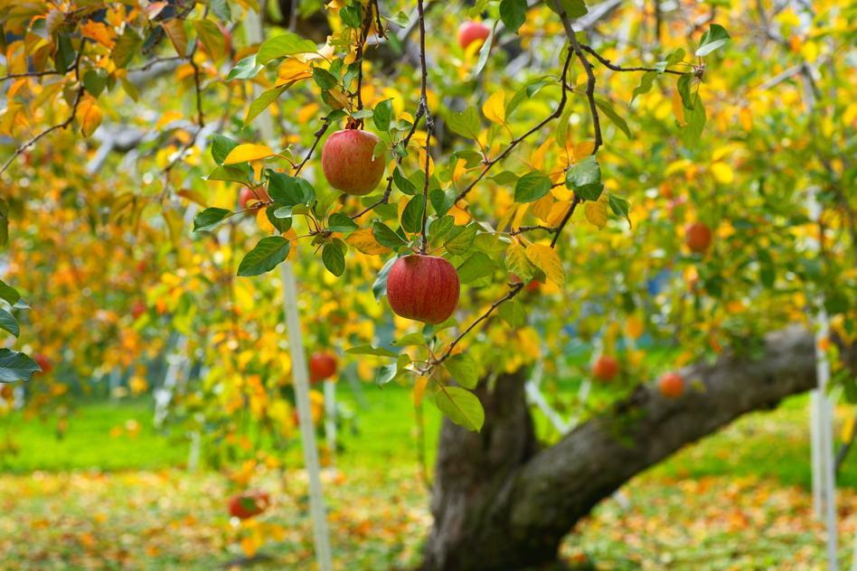 E:\panets\ФОТО ВІДЕО\КУЛЬТУРИ\яблуко\apple-trees-128641-3556727.jpg