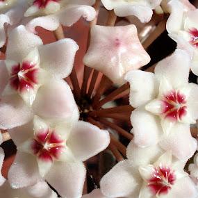 Hoya by Jasminka Lunjalo - Nature Up Close Flowers - 2011-2013 ( flowers hoya )