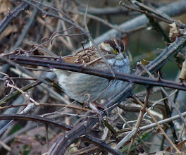 Photo: White-throated Sparrow in a tangle of vines