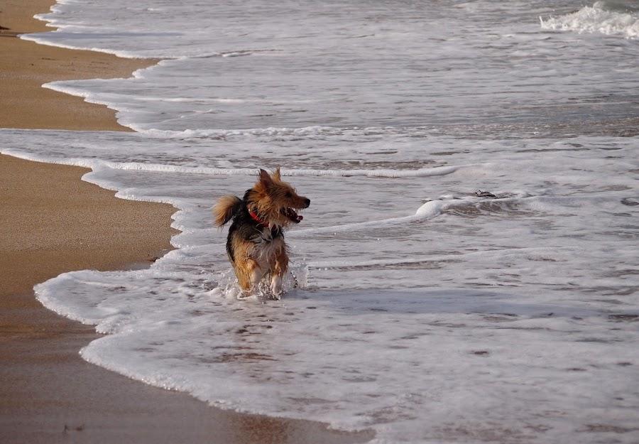 by Estislav Ploshtakov - Animals - Dogs Running