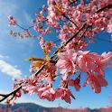 Lovely Sakura Wallpapers icon