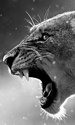 狮子 live wallpaper