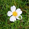 Climbing Prairie Rose
