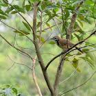 Garrulax pectoralis 黑領噪鶥