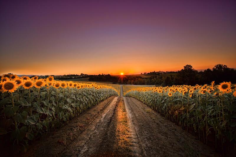 tramonto sui girasoli di Cinzia_torelli