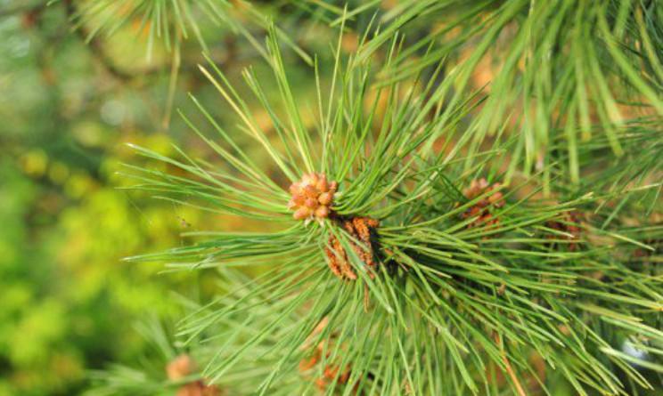 Tisana agli aghi di pino benefici e proprieta