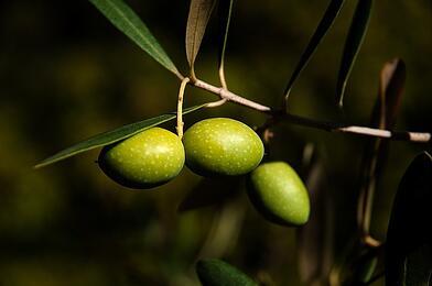 aceitunas verdes en rama
