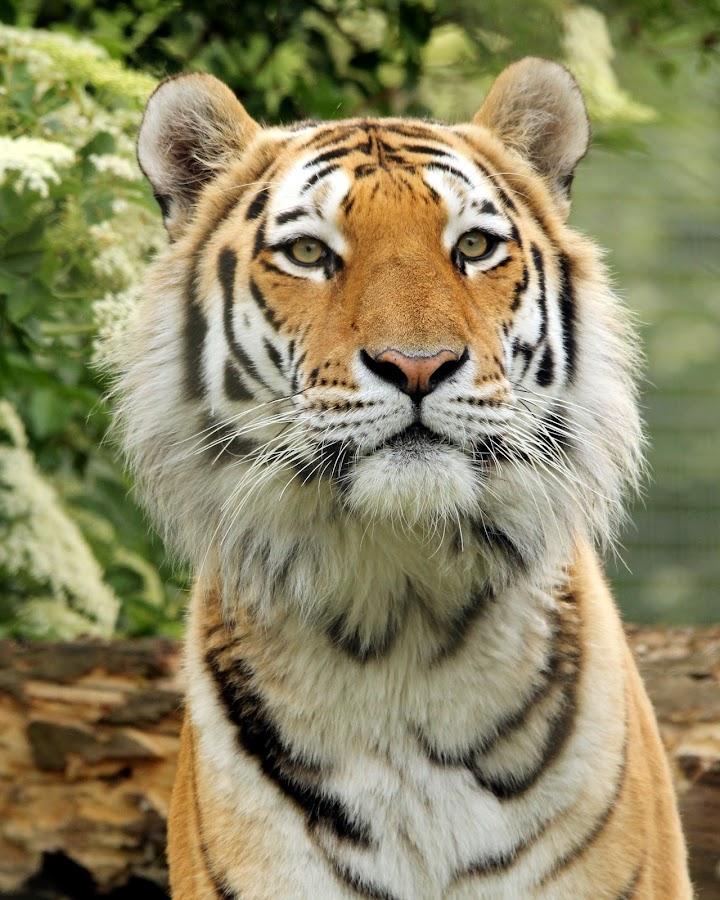 Tiger by Ralph Harvey - Animals Lions, Tigers & Big Cats ( wilsdlife, tiger, ralph harvey, marwell zoo, animal )