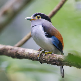 Silver-breasted Broadbill by Azmi Jailani - Animals Birds