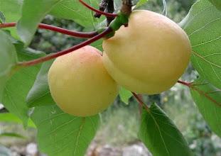Photo: Albercocs (Apricots)