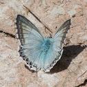 Provencal Chalk Hill Blue