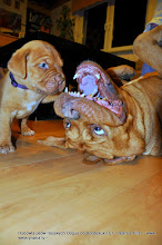 Photo: dogue de bordeaux