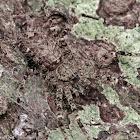 Lichen Huntsman Spider
