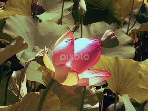 Lotus Flower Echo Park Los Angeles Ca Single Flower Flowers