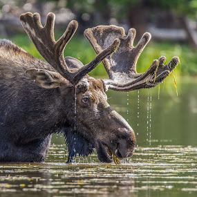 Wild Moose by Tomas Rupp - Animals Other Mammals ( nature, moose, wildlife, animal,  )