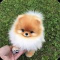 Dog wallpapers - Puppy, Pomeranian Wallpapers APK