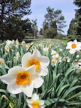 Photo: Beautiful, bright daffodils at Cox Arboretum in Dayton, Ohio.