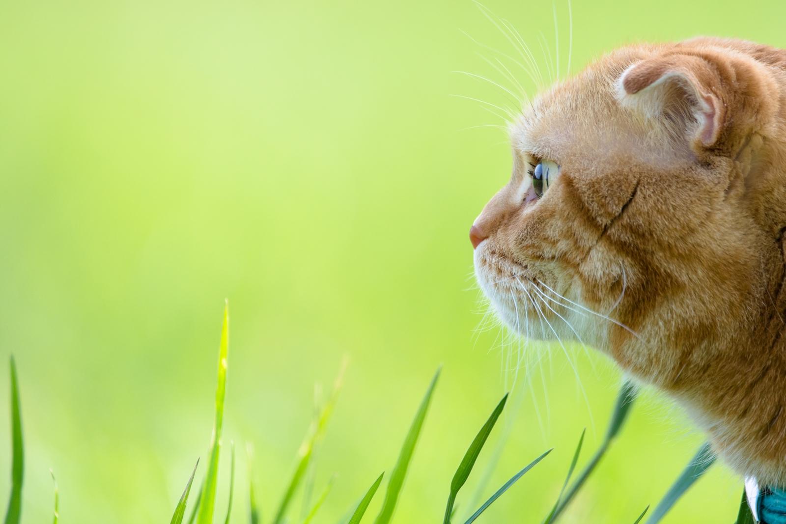 Photo: 「緑の世界」 / Fresh green world.  吸い込まれるような緑 心を奪う美しき色 綺麗な瞳に 緑の世界が広がる  モデル:トラジ  Nikon D7200 SIGMA 150-600mm F5-6.3 DG OS HSM Contemporary  #cat #kawaii #nikon #sigma #木曜ポートニャート #トラジオフ  ( http://takafumiooshio.com/archives/2408 )