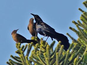 Photo: Dohlengrackel (Quiscalus mexicanus) Männchen mit zwei Weibchen
