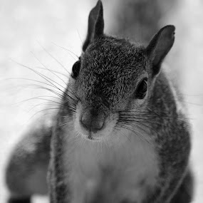 Squirrely Mom by Colleen Rohrbaugh - Animals Other ( animals, squirrels, black and white pics., wildlife,  )
