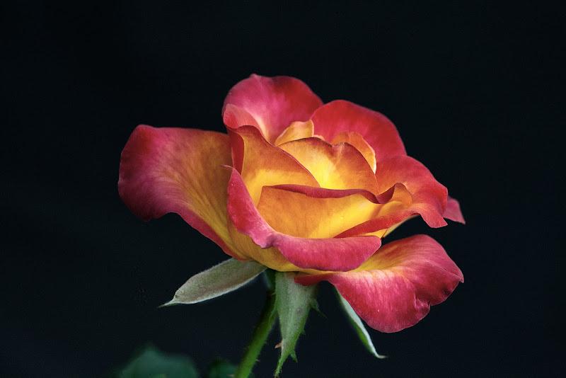 Rosa di Pinco_Pallino