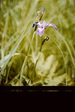 Photo: Wild Iris