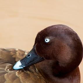 Brown Duck by Jan Crawford - Animals Birds ( nature, duck, blue eyes, brown, birds,  )